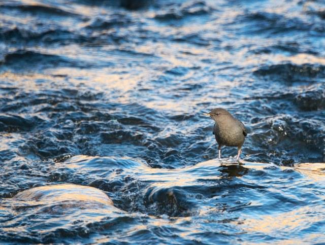 Water_ouzel_1