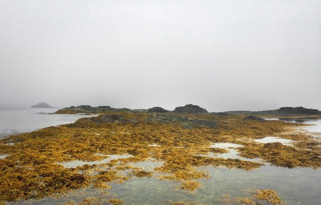 Kelp_and_fog