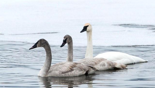 Swan_cygnets_1