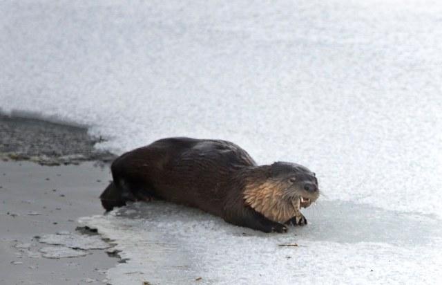 Otter_2