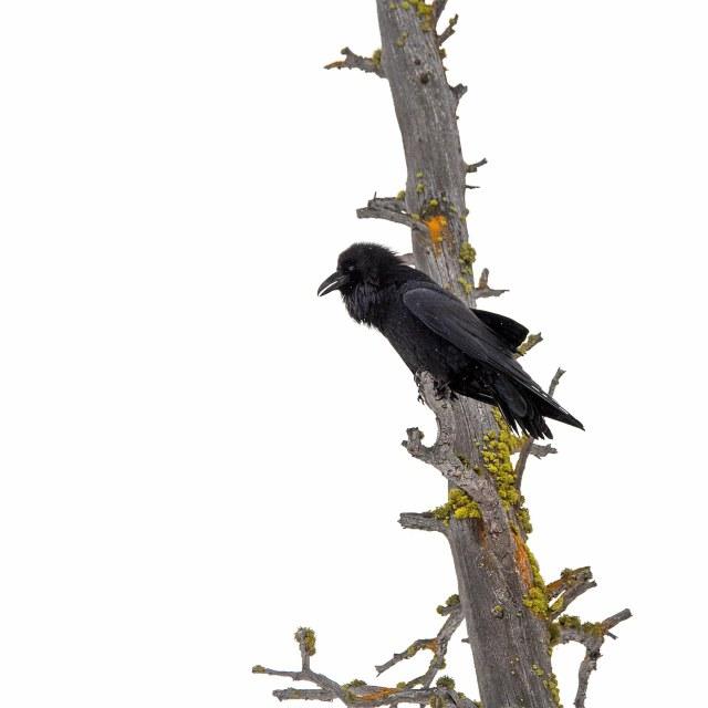 Raven_grery_day_1
