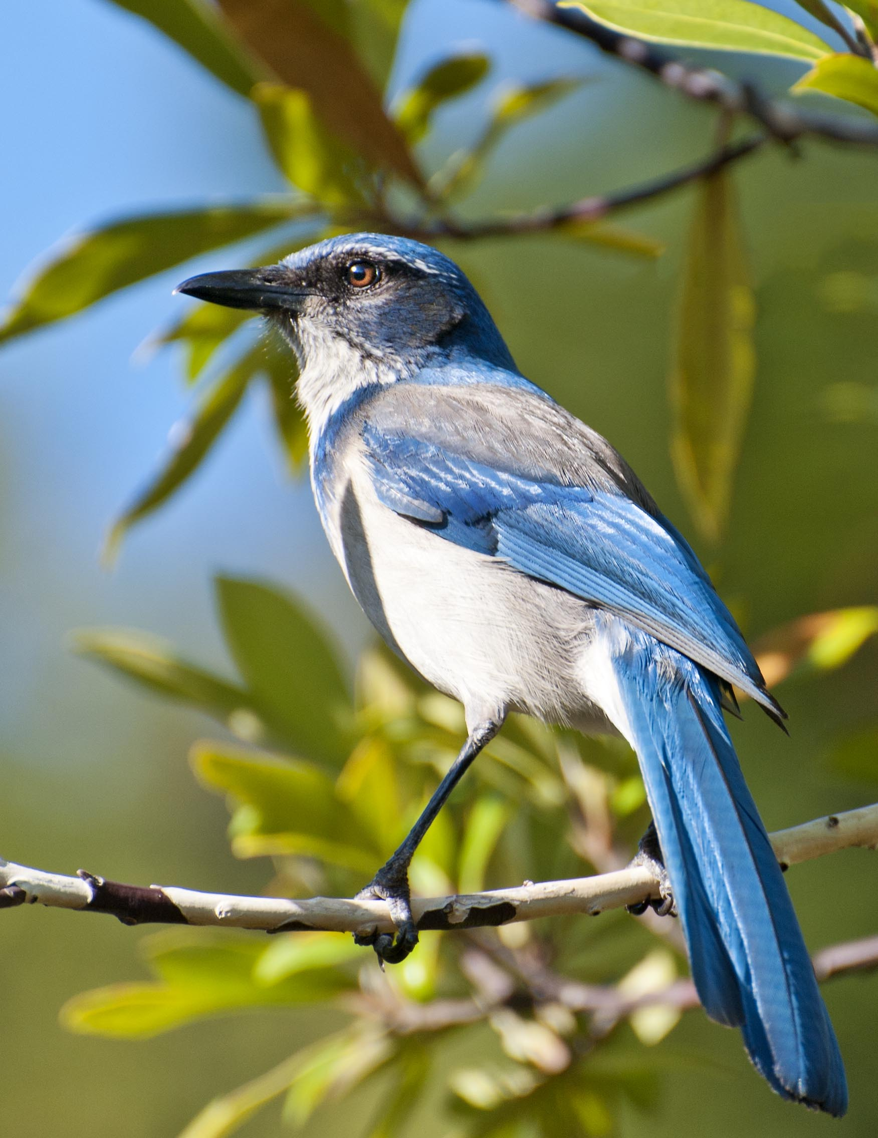 4bc94353bec Western Scrub Jay – nature has no boss
