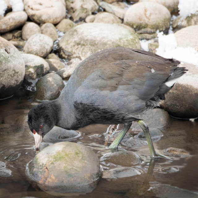 Coot_out_of_water_1