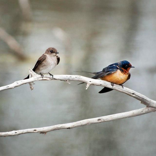 Swallows_2a