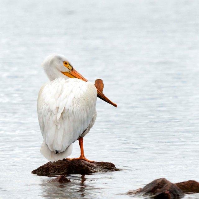 American-White_pelican_1