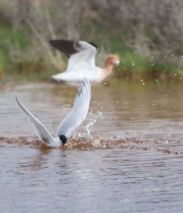 Avocet and tern03