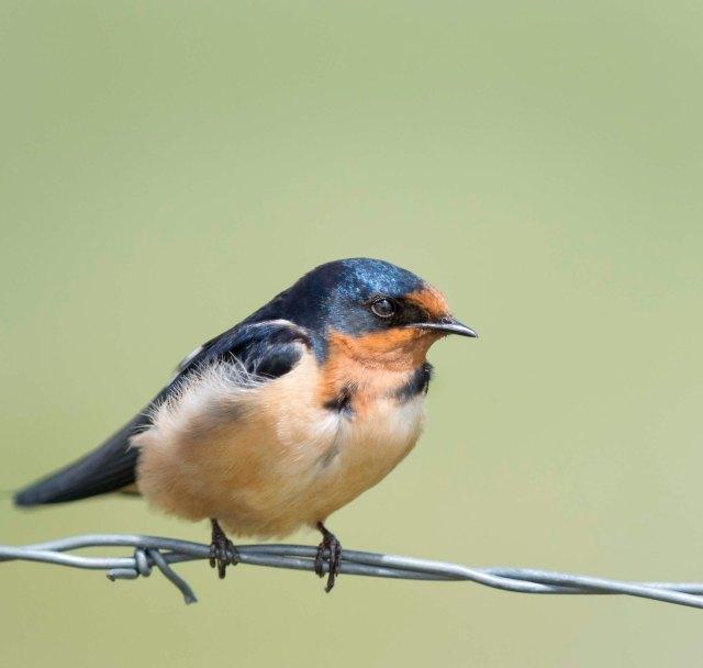Barn_swallow_2