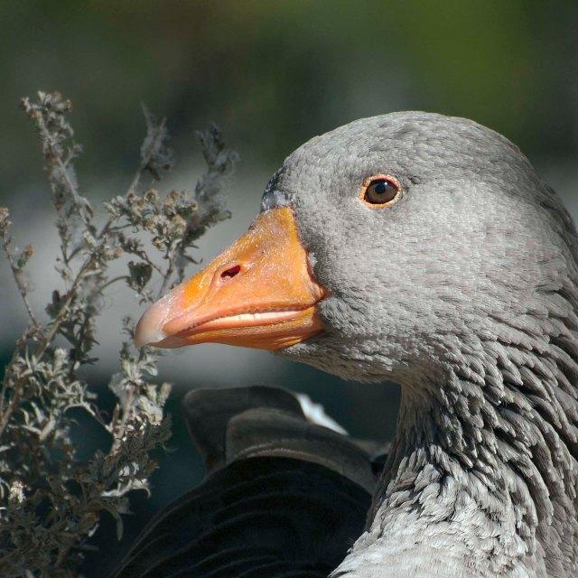 Grey_goose_1 copy