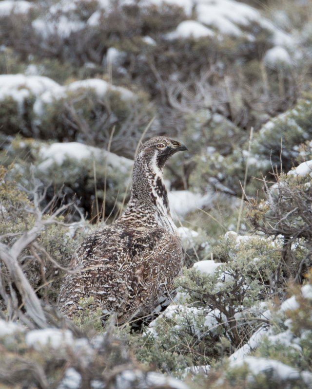Sage_grouse_1
