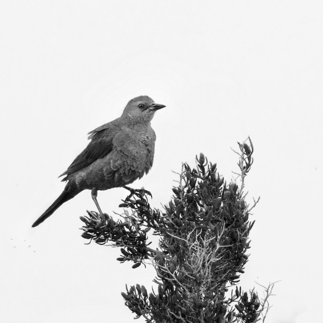 Female_cowbird_bw_1