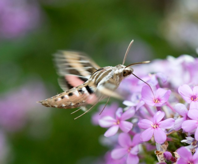 WHite_lined_sphinx_moth