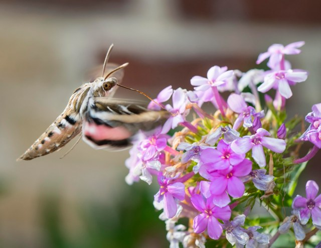 White_lined_sphinx_moth_2