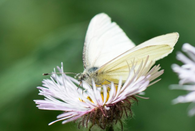 Cabbage_white_near_1