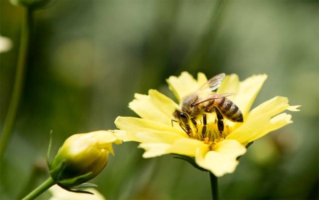 Honey_bee_1