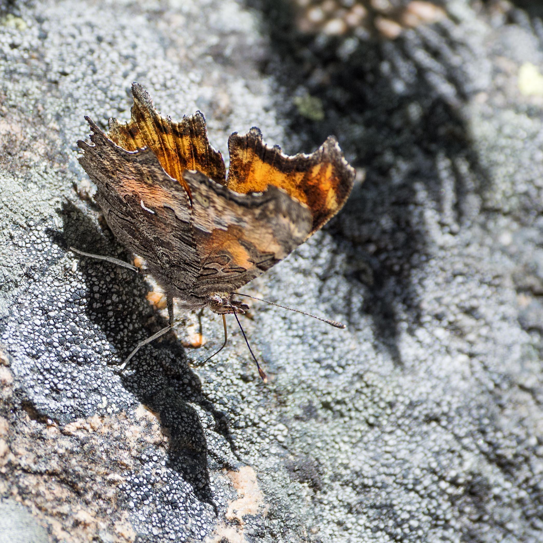 lichen_comma