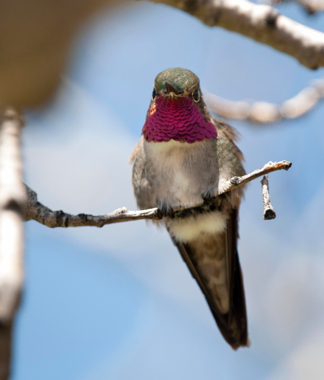 ruby_throated_hummingbird_1