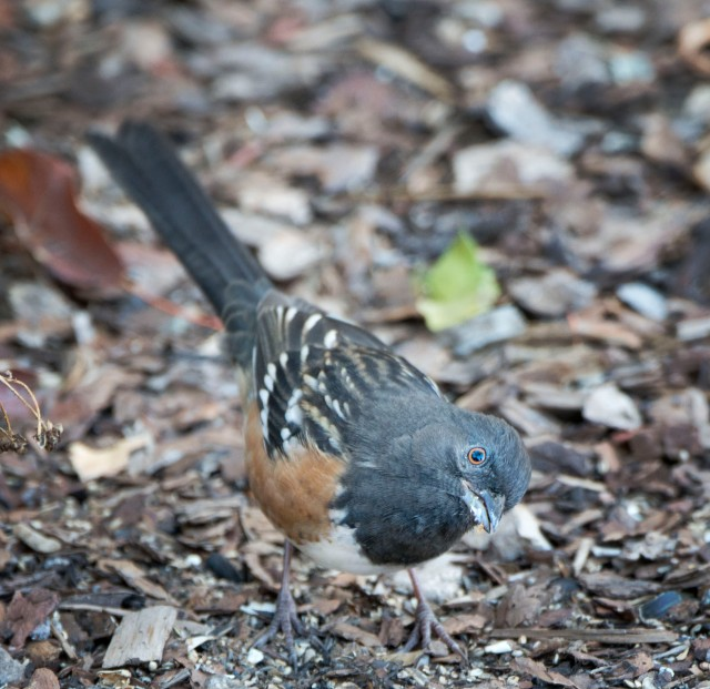 spotted_towhee_1
