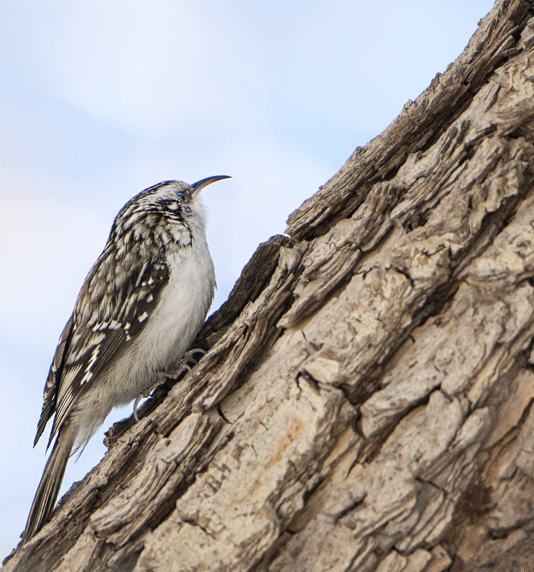 tree_creeper_1