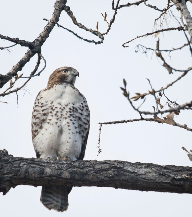 coopers_hawk_puffed_up