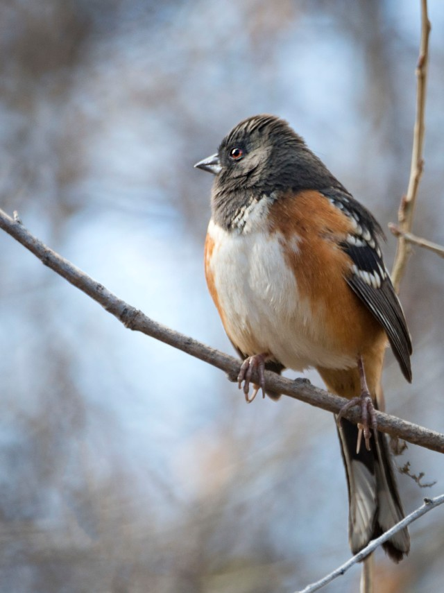 spotted_towhee_2