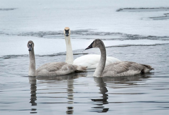 three_swans