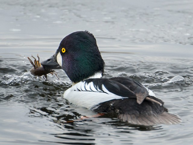 lukcy_duck