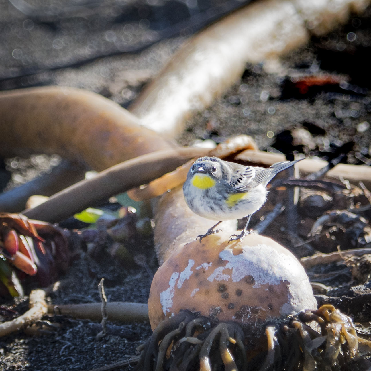 yellow_rumped_bull_kelp