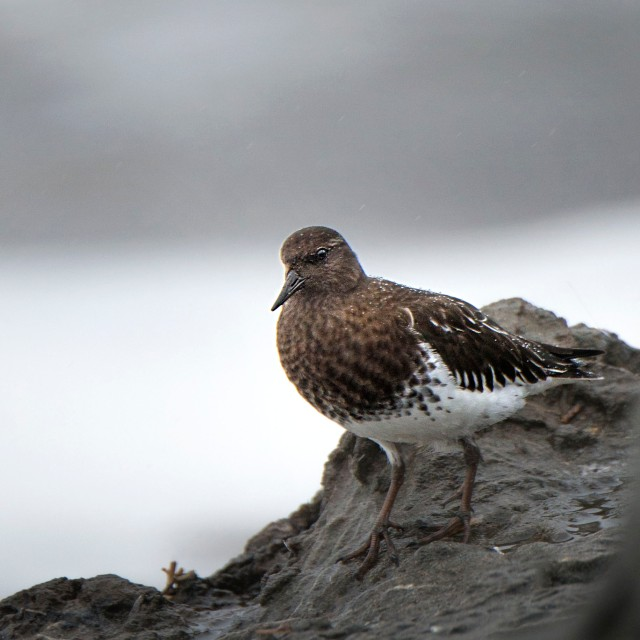 black_turnstone_winter_plumage_1