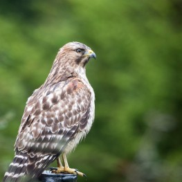 red_shouldered_hawk_1