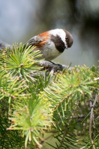 Cheastnut_chickadee_1