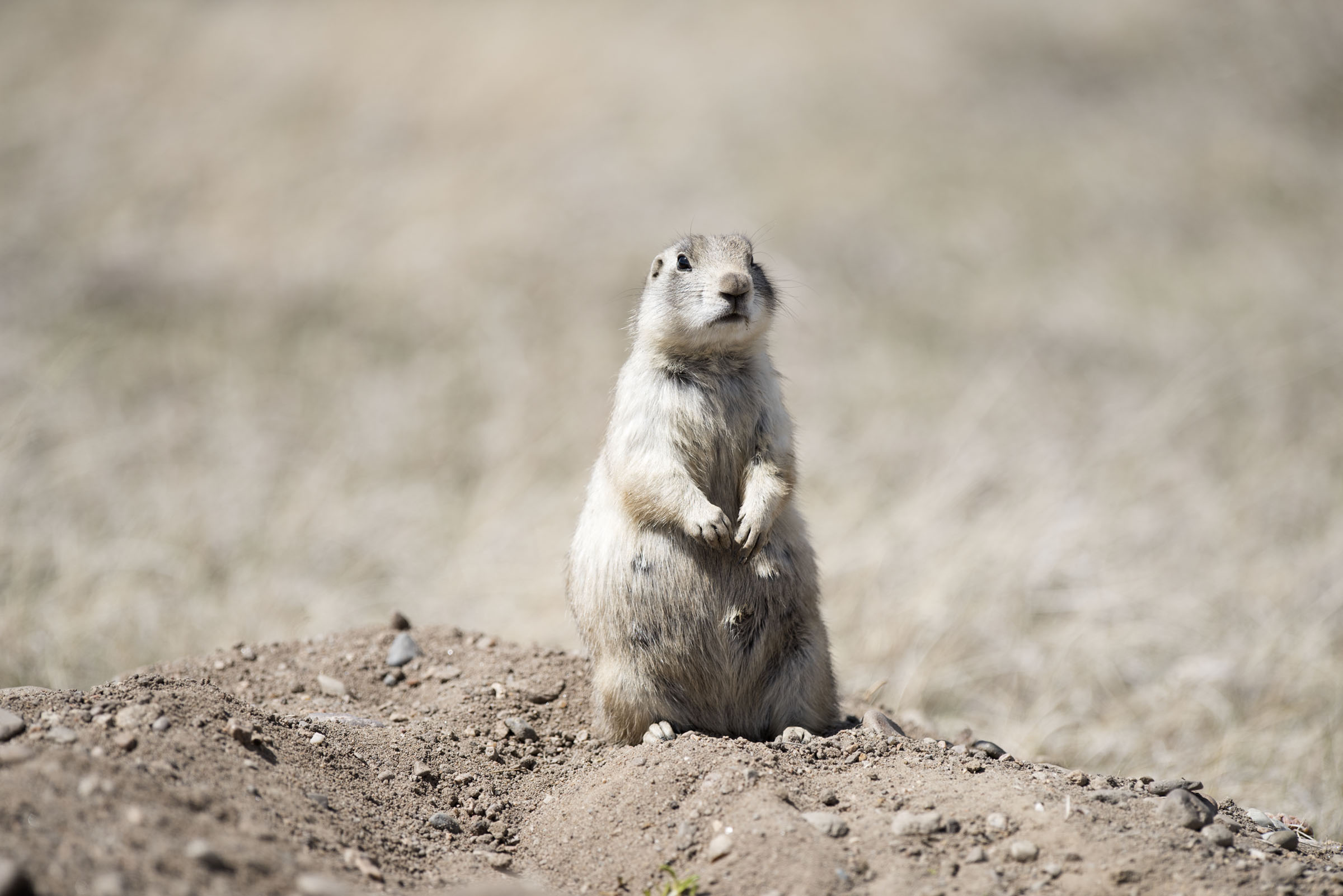 However, biologists studying Prairie Dogs have discovered they have a  complex language and perhaps one day we will ...