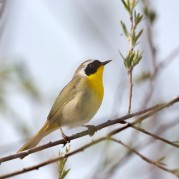 Yellowthroat_12
