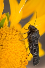 Alpine_moth_2