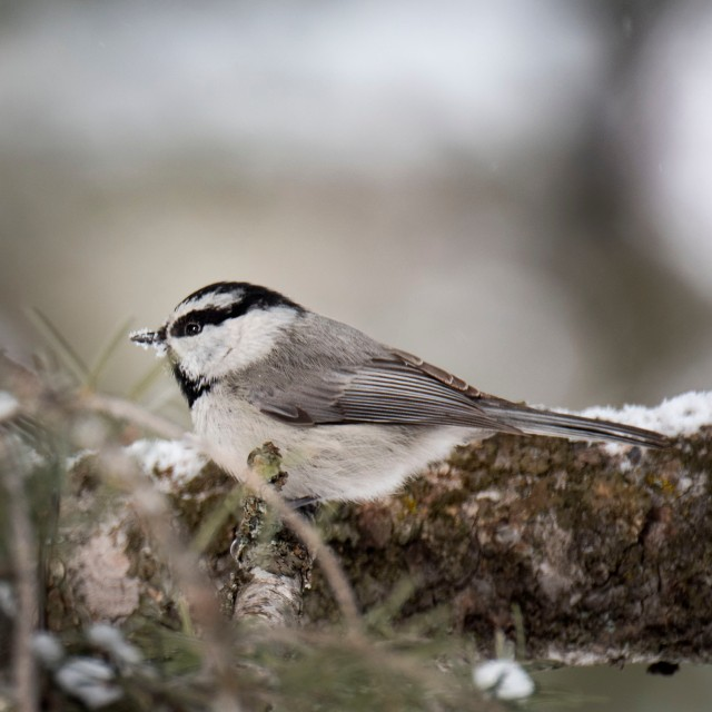 Mountain_chickadee_1