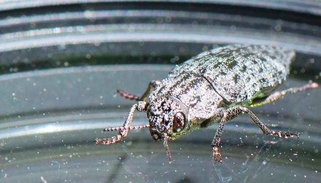 Beetle_mania_2