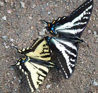 Swallowtails_5