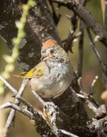 Green_tailed_towhee