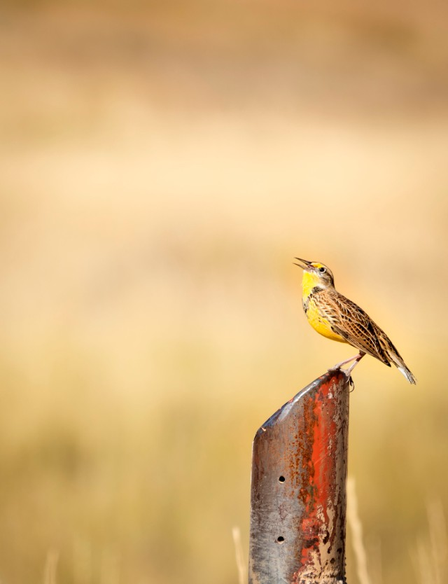 Fall_meadowlark_1