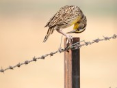 Fall_meadowlark_2