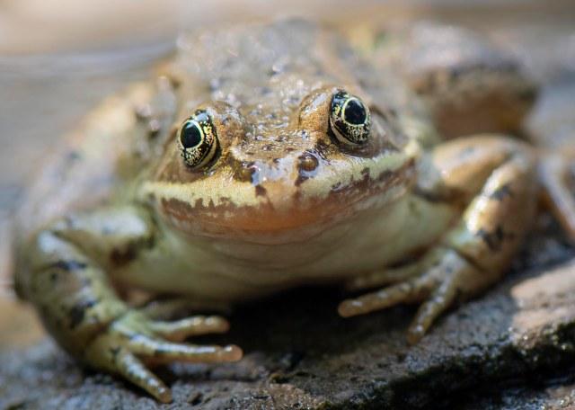 frog_eyes_2