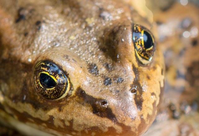frog_eyes_3