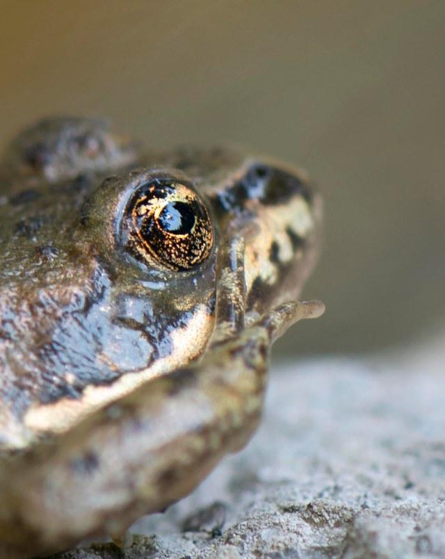 frog_eyes_4