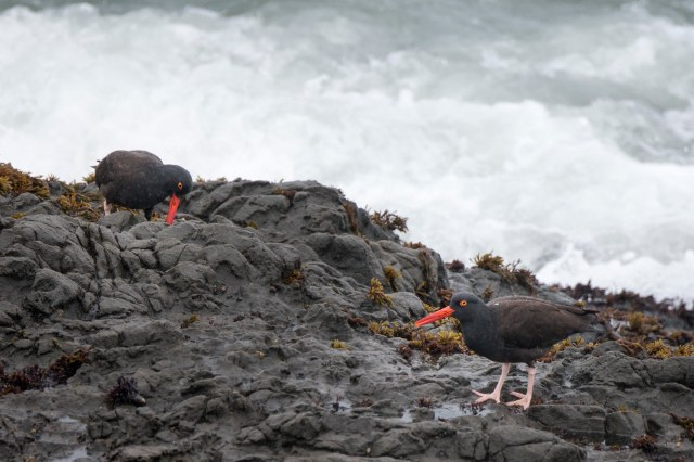 pacific_oystercatchers_345