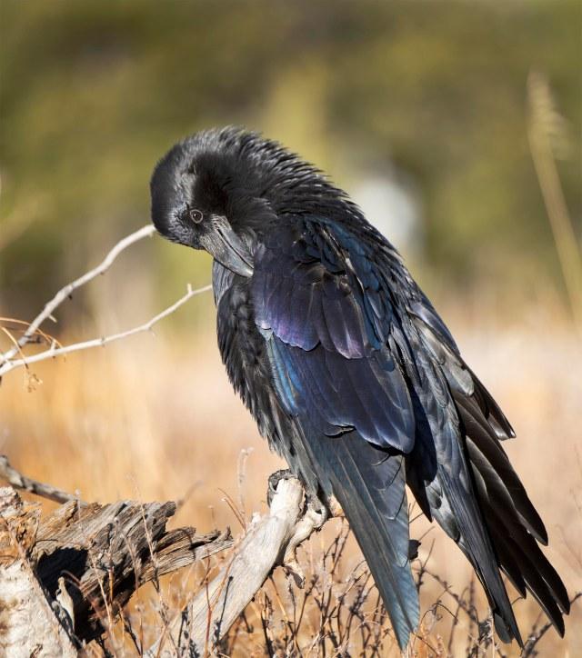 raven_preening_1