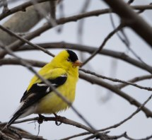 winter_goldfinch_23