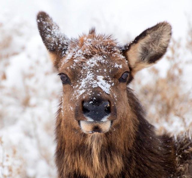 Elk_portrait_234