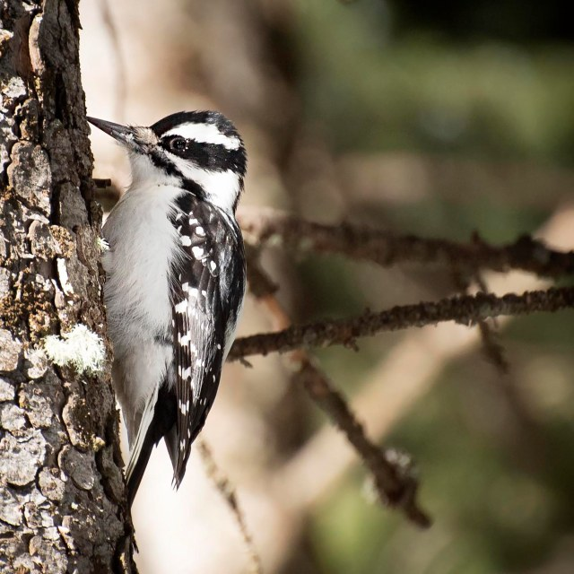 Hairy_woodpecker_1