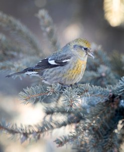 Female_crossbill_1