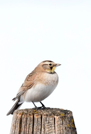 HOrned_lark_female_1