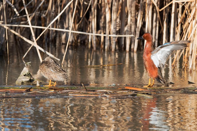 Cinnamon_teal_pair_1